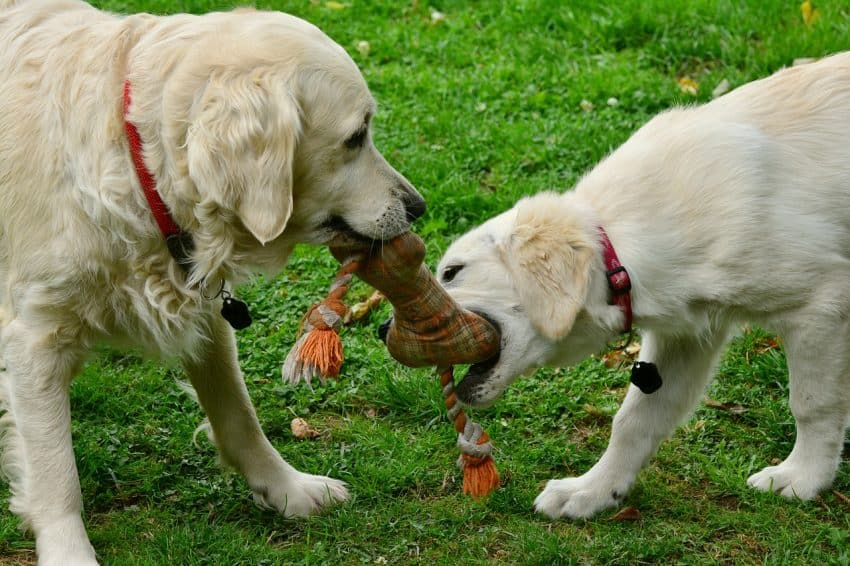 Two dogs playing pulling with a rope toy on the green grass.