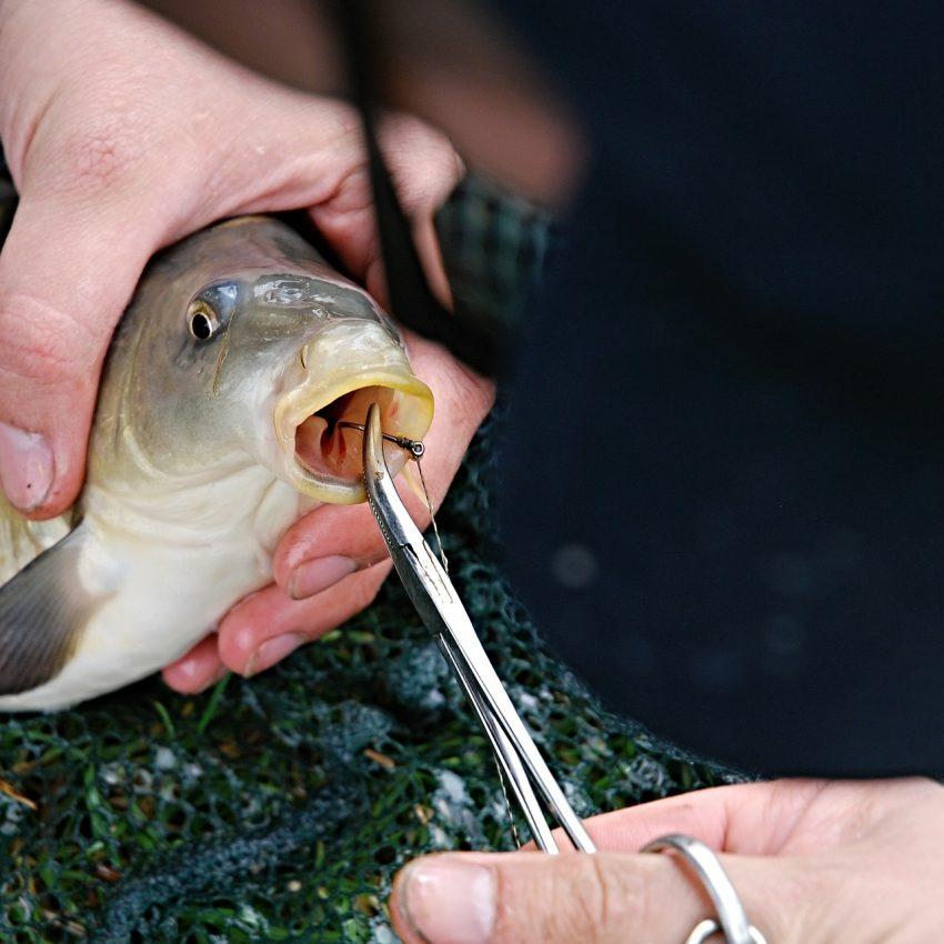 Um peixe sendo segurado por um pescador, com anzol na sua boca e tendo o mesmo removido com o auxílio de um alicate de bico longo curvado.