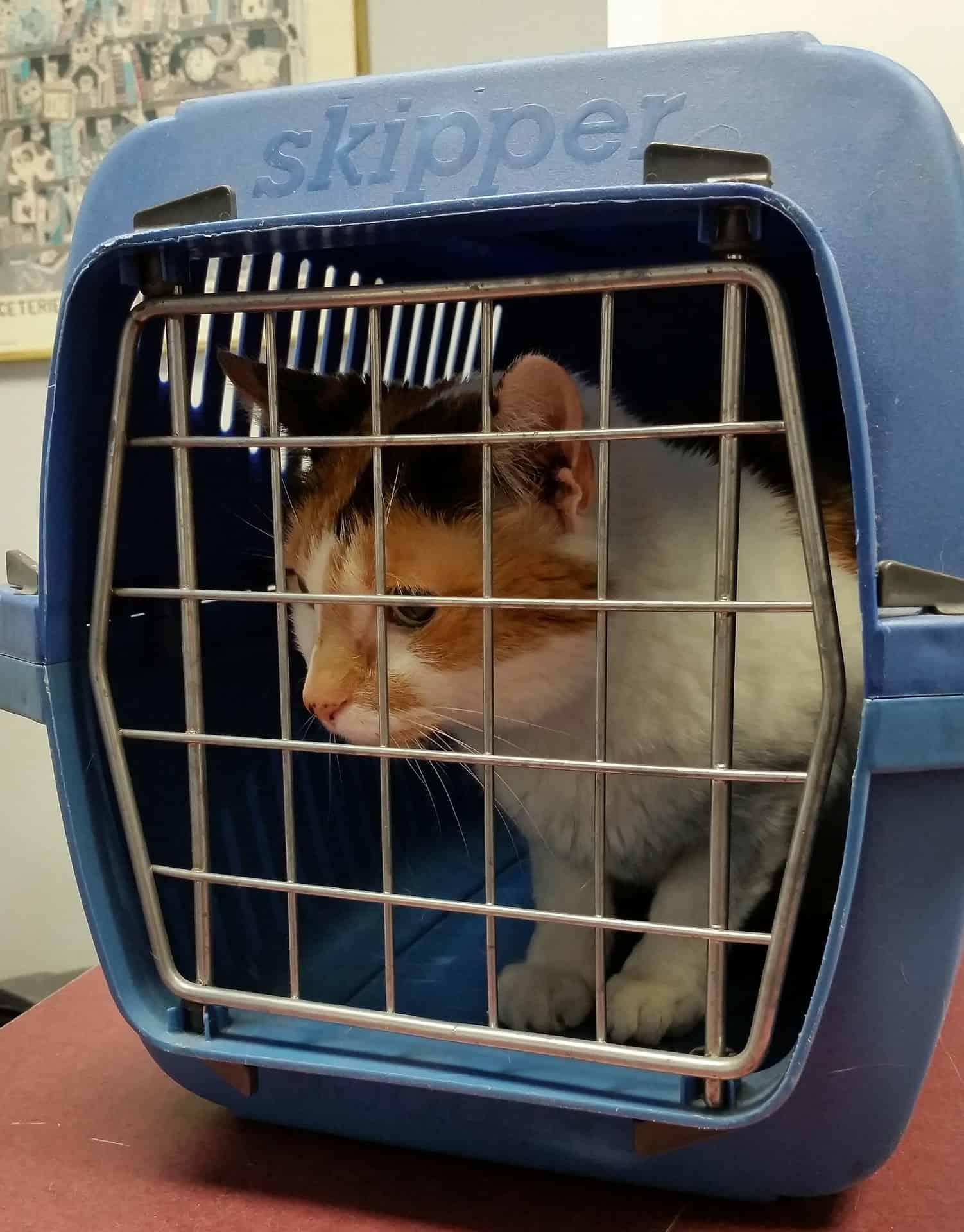 Imagem mostra gatinho branco com marrom dentro de caixa de transporte azul