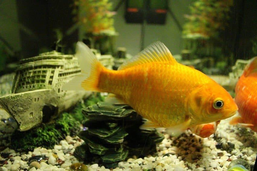 Imagem de um peixinho dourado dentro de um aquário.