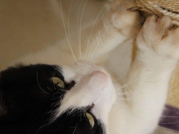 Gato preto e branco utilizando seu arranhador para gato.