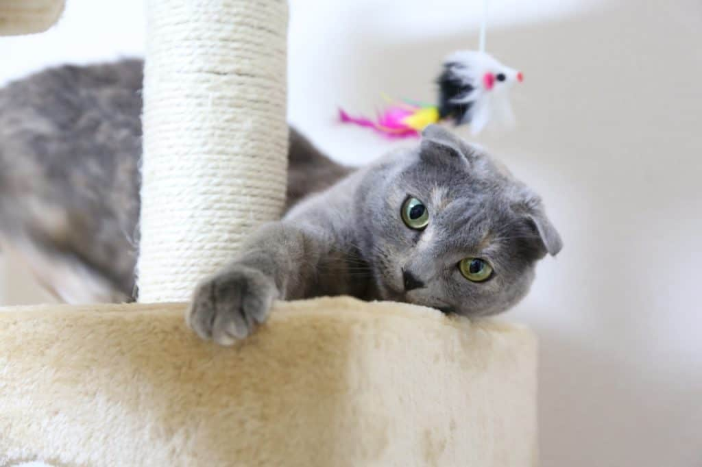 Felino cinza com seu arranhador para gato.