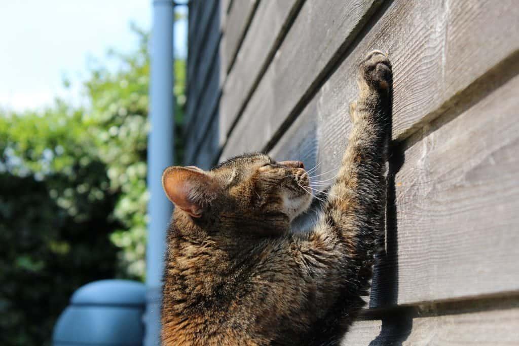 Gato arranhando a parede de madeira