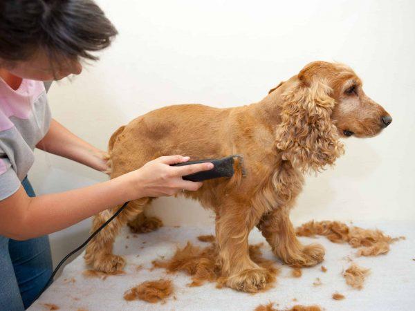 Mulher cortando o pelo de um Cocker Spaniel com máquina de tosar.