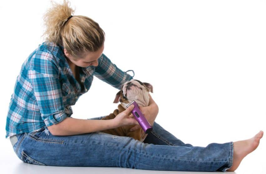 Woman shearing Bulldog with machine.