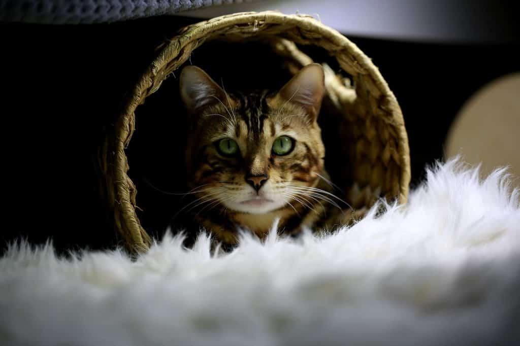 Gato bengal dentro de um arranhador para gato.