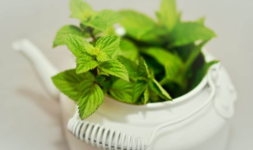 Imagem mostra um bule branco como vaso decorativo com plantas.