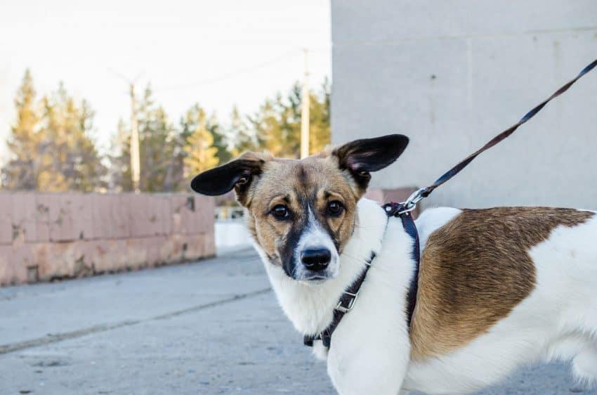 Imagem de cachorro branco e marrom preso por peitoral com guia.