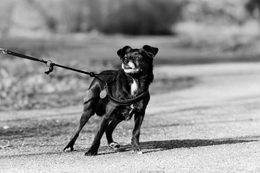 Imagem preto e branco de cachorro preso por uma guia e peitoral.