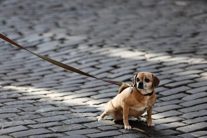 Imagem de cachorro de pequeno porte preso por guia marrom.