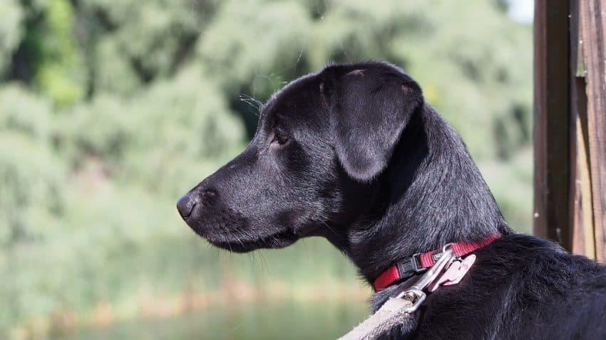 Imagem de cachorro preto com coleira vermelha e guia de poliéster branca.
