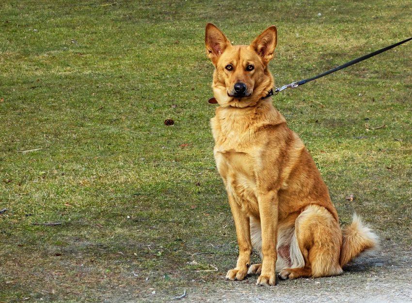 Imagem de cachorro marrom sentado e preso por uma guia preta.