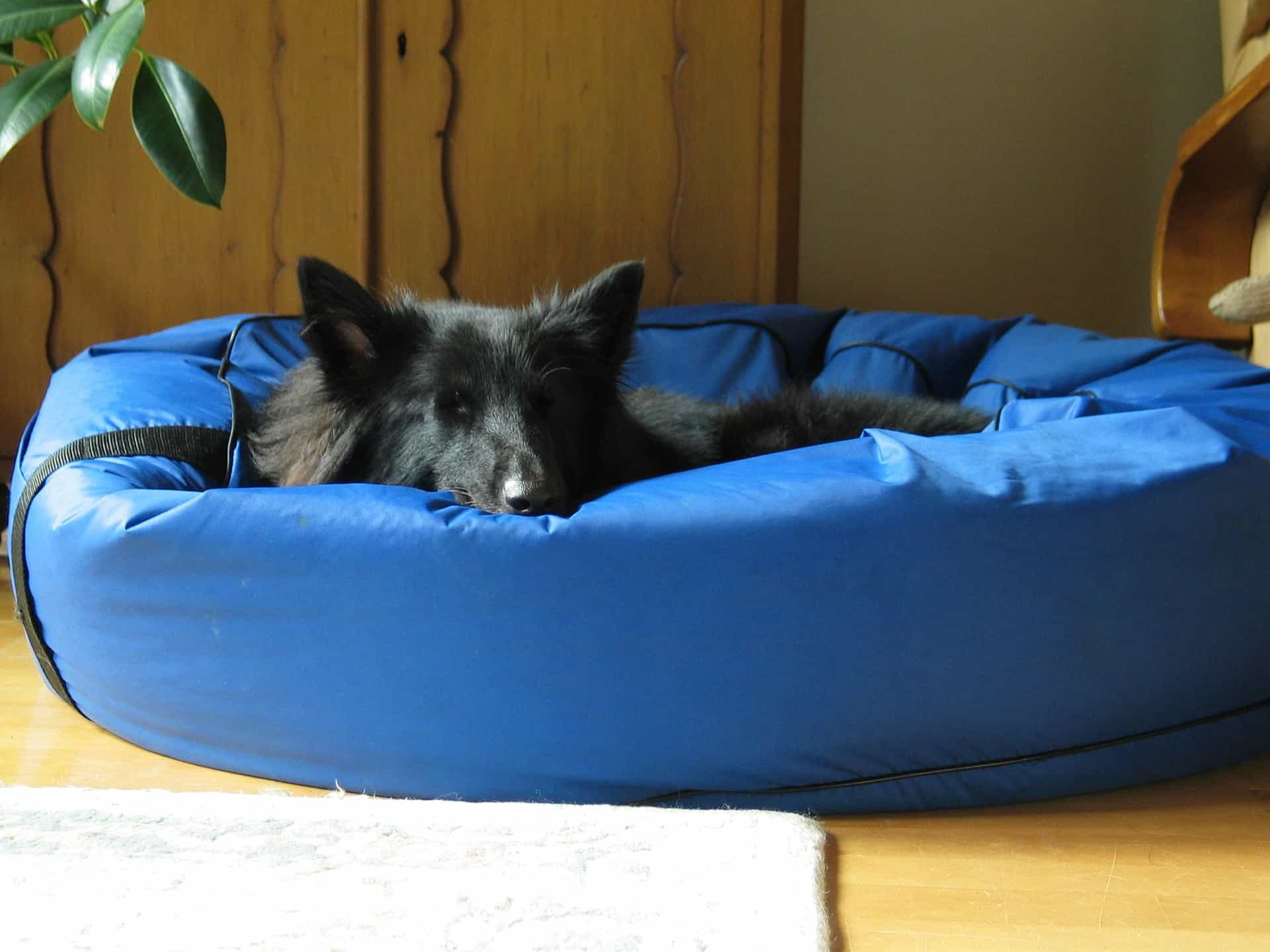 Large black dog sleeps in a blue padded pet bed.