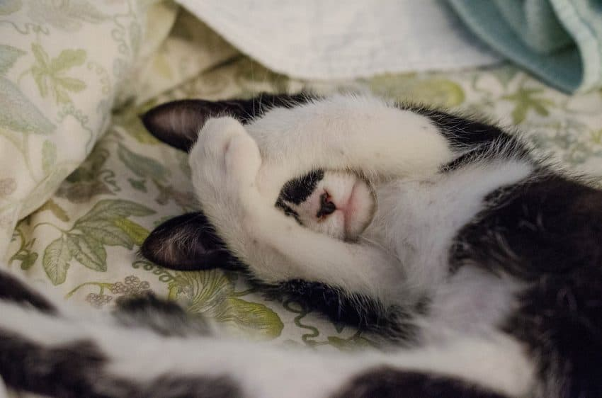 Cat lying in pet bed hides his face with his paws.