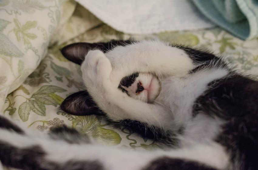 Gato deitado em cama pet esconde o rosto com as patinhas.