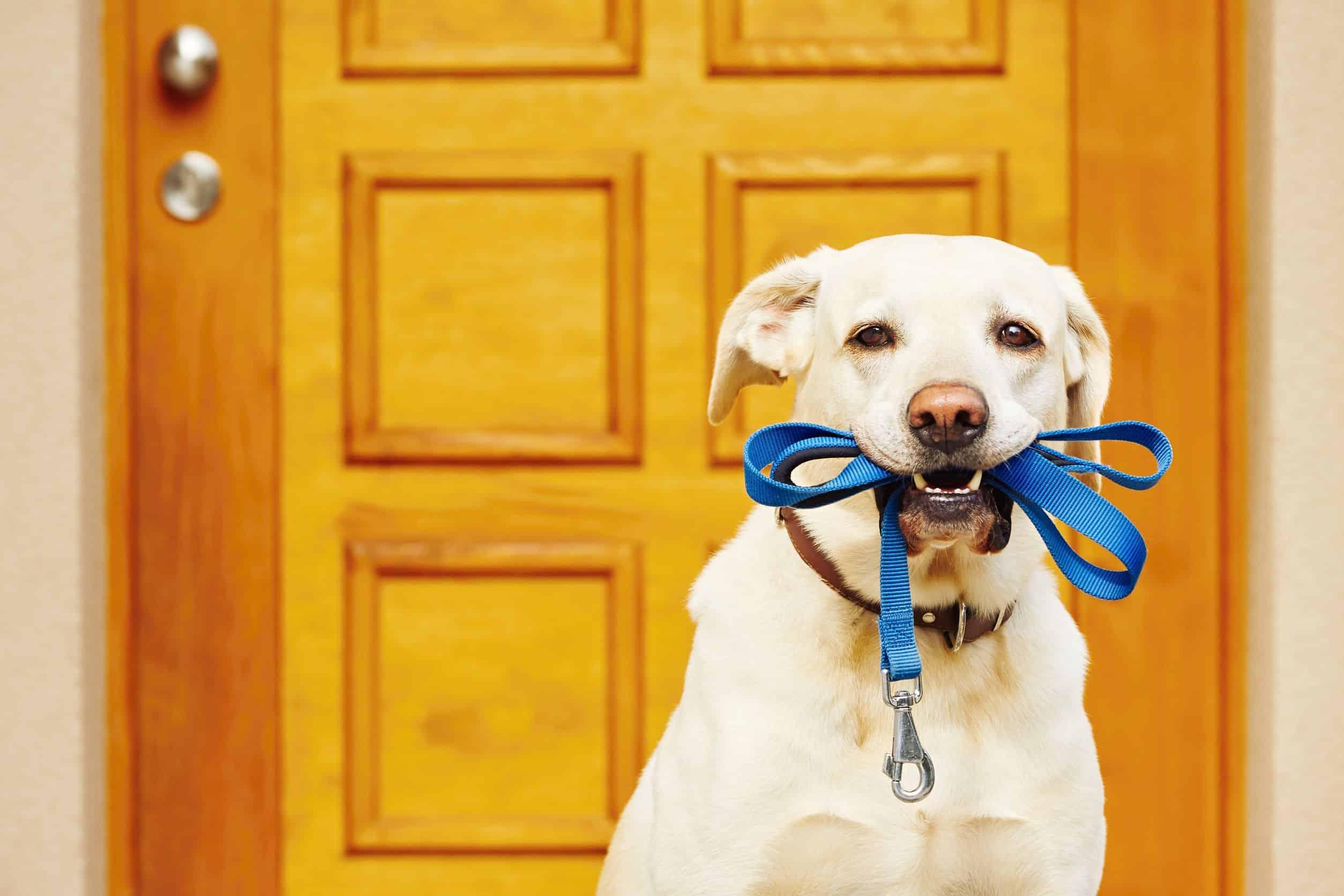 Imagem de cachorro bege segurando a própria guia pela boca.