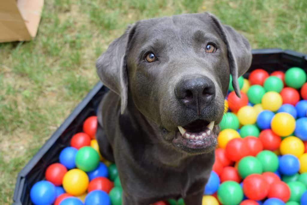 Imagem mostra uma um cachorro dentro de uma piscina de bolinhas.