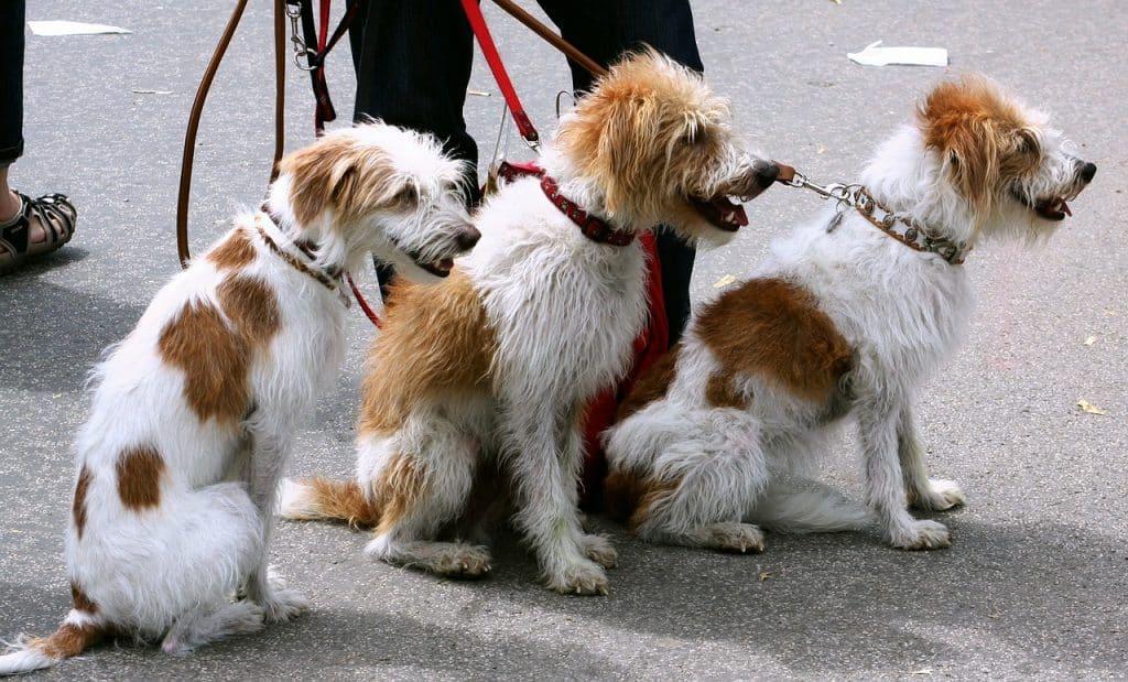 Imagem de pessoa segurando três cachorros brancos e marrons através de guias e coleiras.