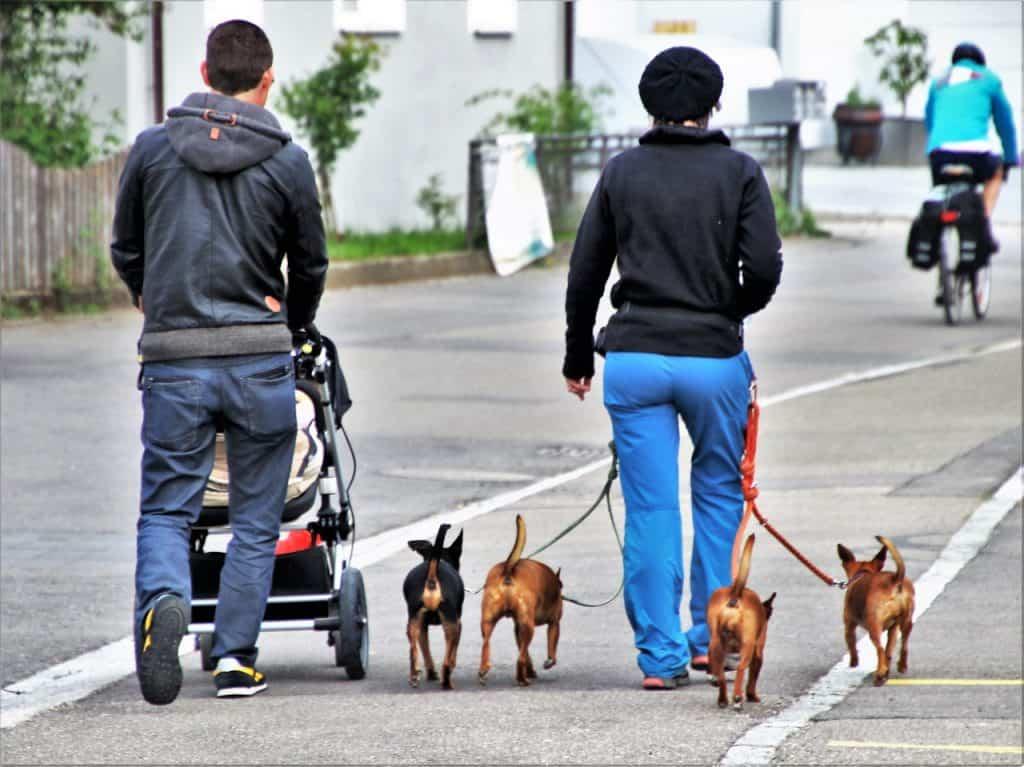 Imagem de casal empurrando carrinho de bebê e passeando com quatro cachorros presos por coleira e guias.