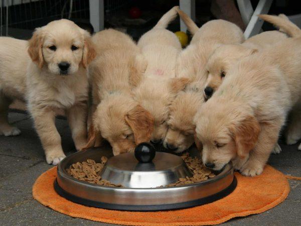 Imagem de filhotes de cachorro se alimentando em comedouro de metal.