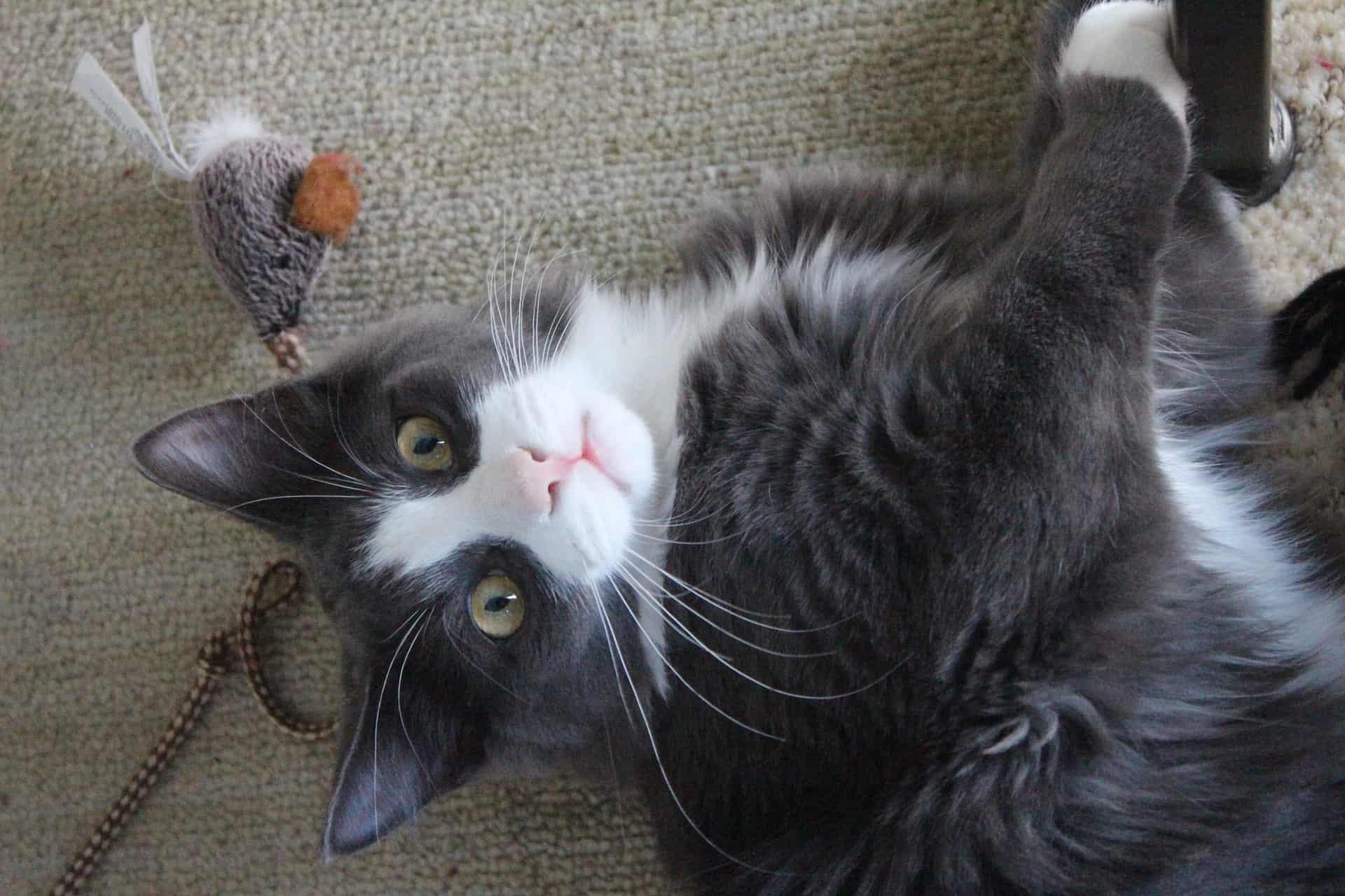 Imagem de gato cinza e branco com ratinho de brinquedo.