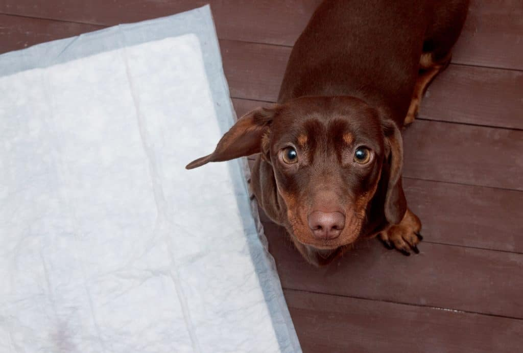 Dog looking up next to toilet mat