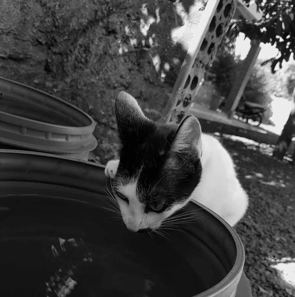 Imagem preto e branca de gato tomando água em um bebedouro de plástico.