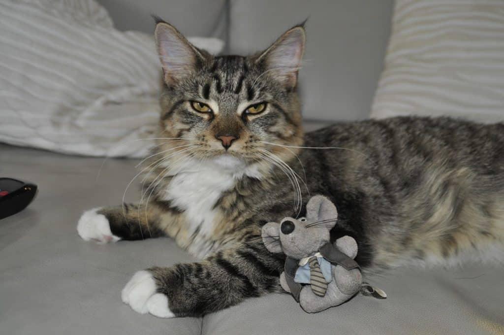 Imagem de gato com brinquedo de ratinho.