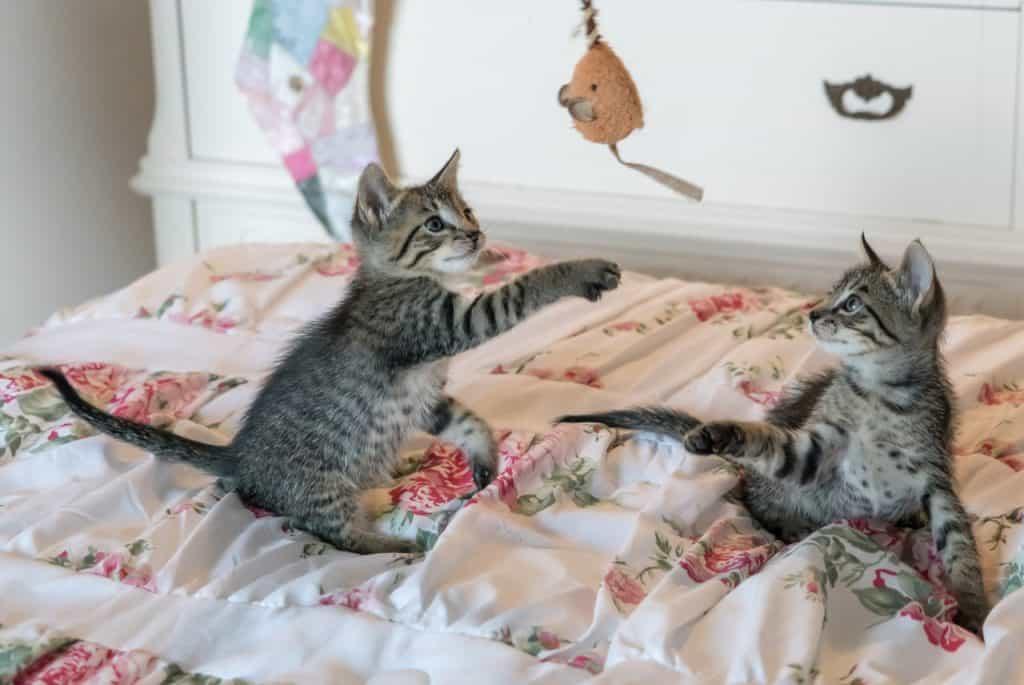 Imagem de gatos brincando com pelúcia de ratinho.