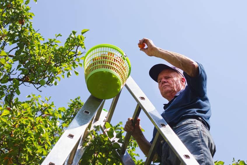 Um homem colhendo frutas usando uma escada dobrável de alumínio.