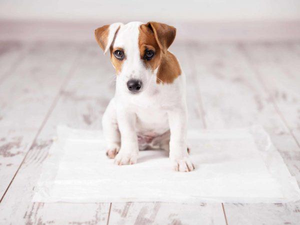 Filhote de cachorro sentado em tapete higiênico fixado em piso de madeira