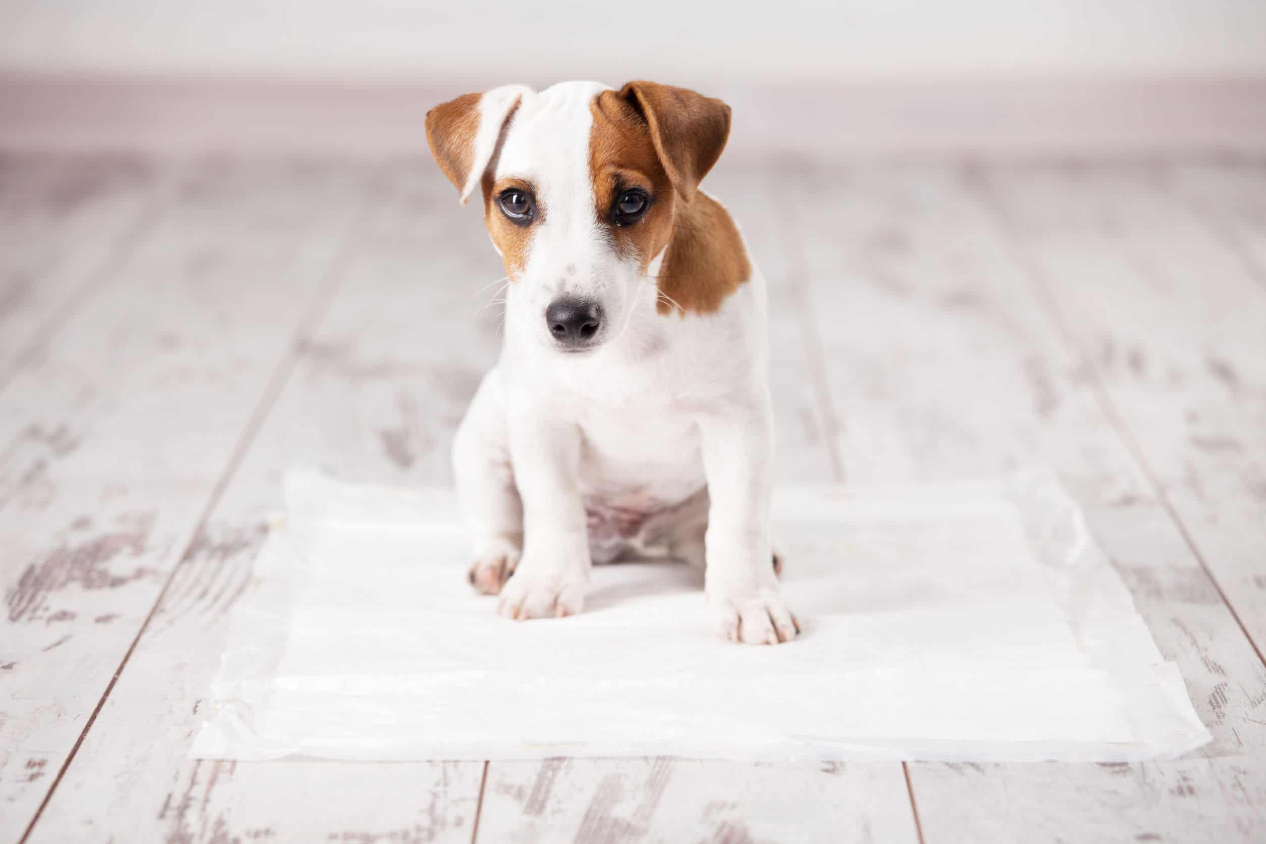 Puppy sitting on toilet mat fixed on wooden floor