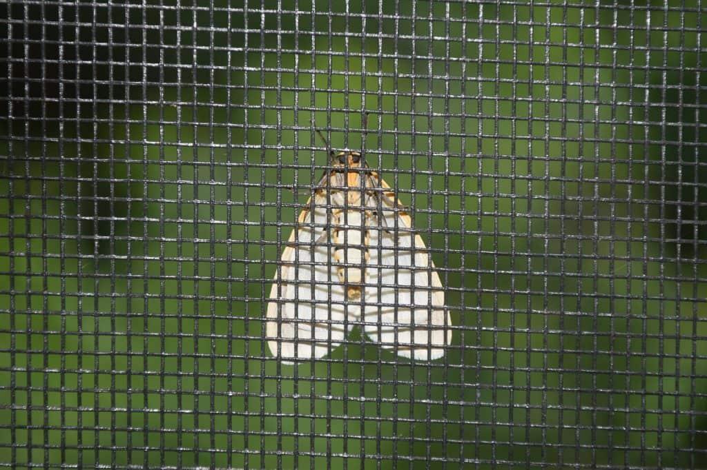 Imagem mostra pequena mariposa retida em tela mosquiteiro.