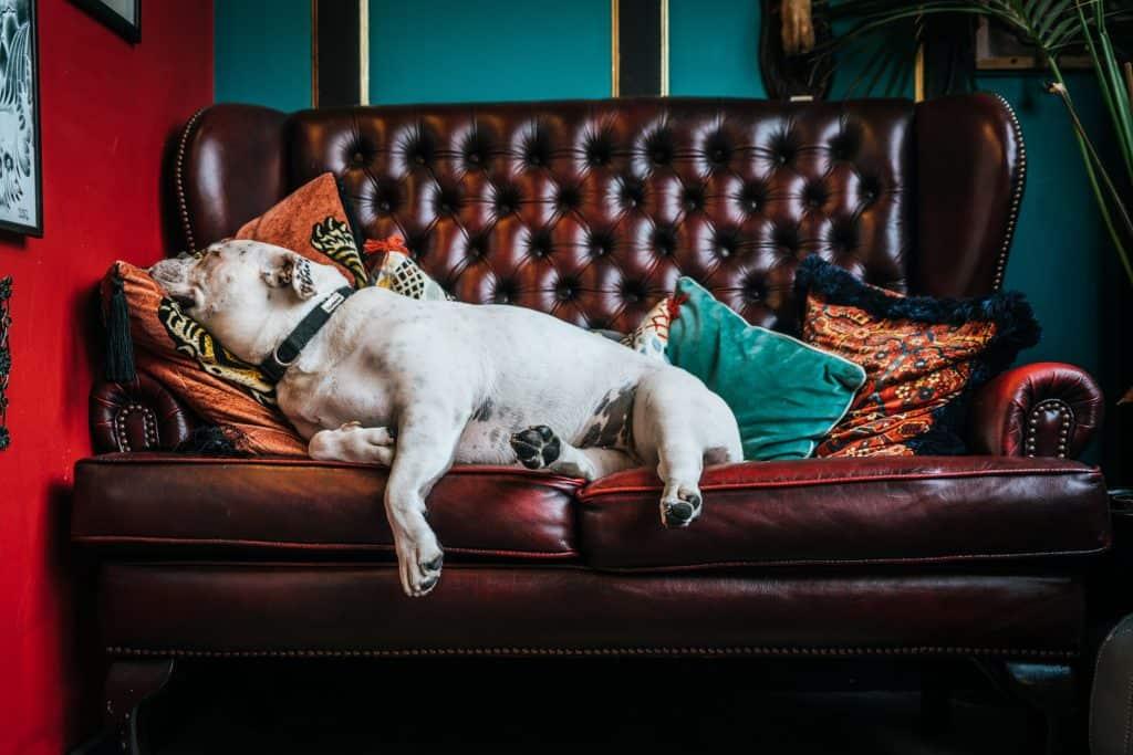 Na foto um sofá de couro marrom com um bulldog branco deitado em cima e algumas almofadas coloridas.