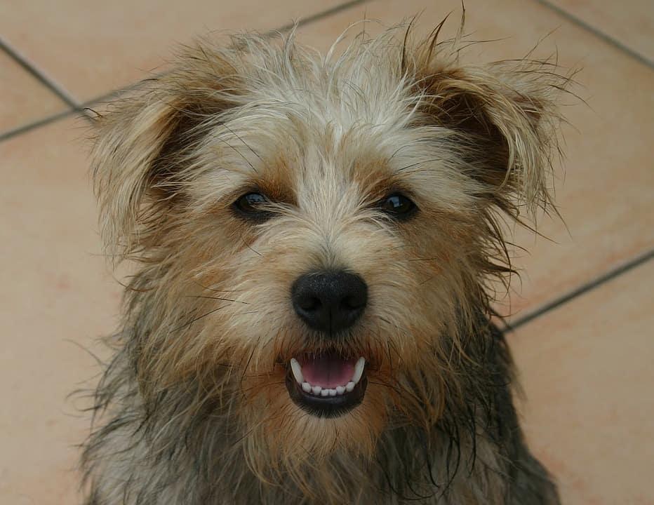 Imagem de cachorro com os dentes expostos.