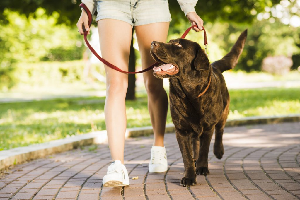 Woman in shorts walks her brown labrador in a park