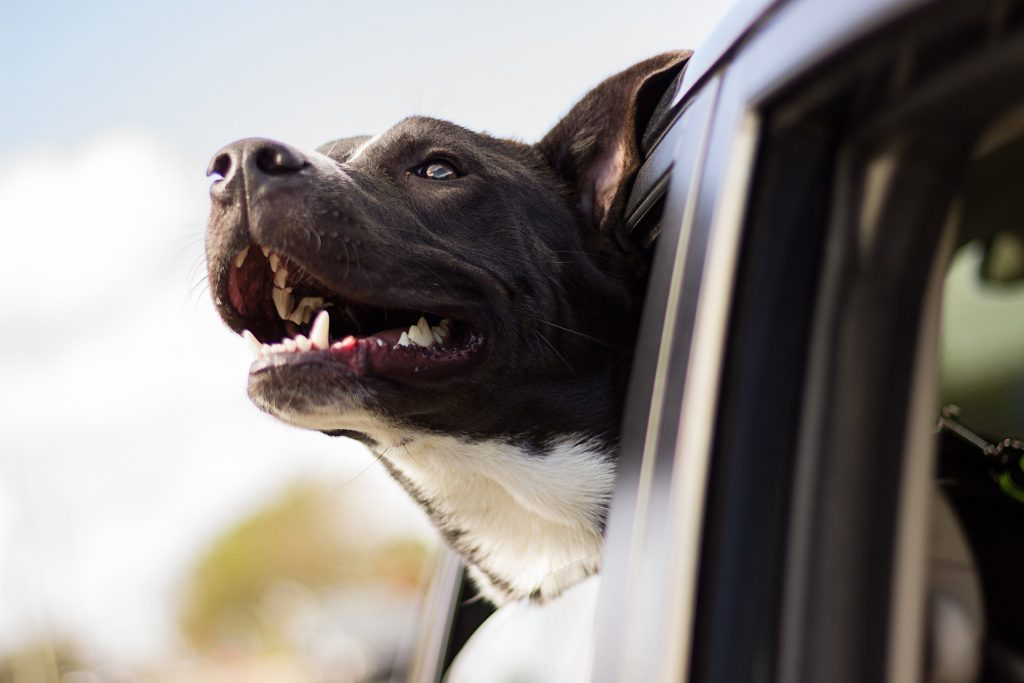 Image of dog fastened by seat belt with his head out the window