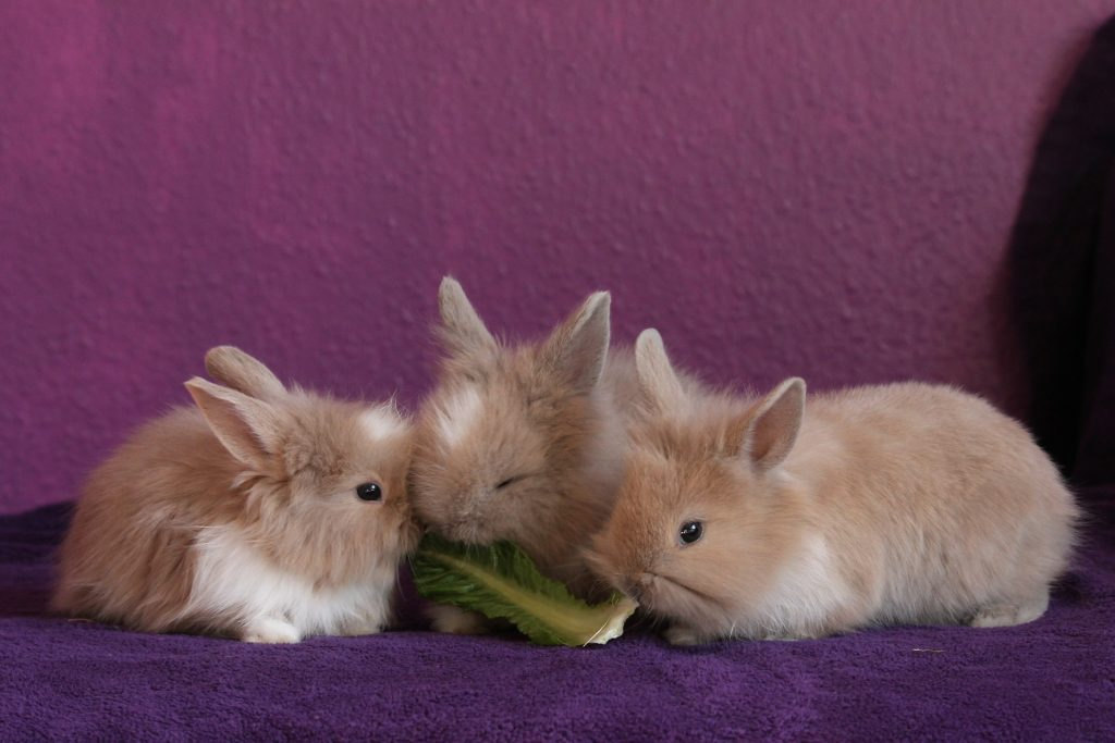 Três coelhos filhotes se alimentando de folha