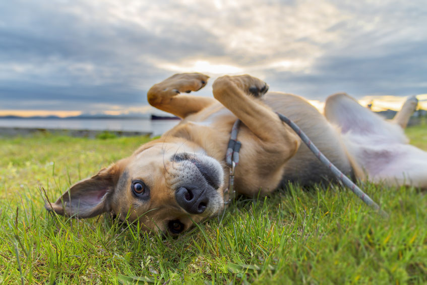 Dog lying face up on lawn