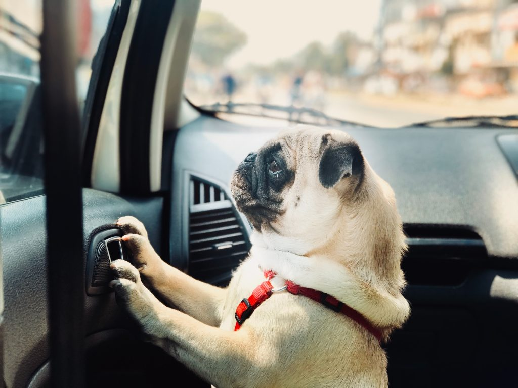 Image of dog looking out of the car window while fastened by a red seat belt