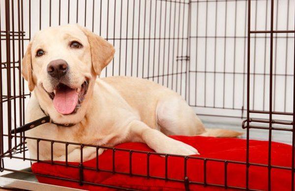 Na foto um cachorro Labrador deitado dentro de um canil.