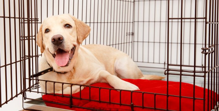 In the photo a Labrador dog lying inside a kennel.
