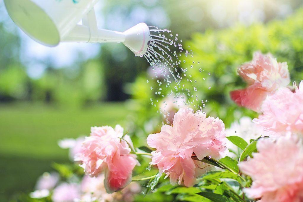 Na imagem um regador branco despeja água em flores rosas no jardim.