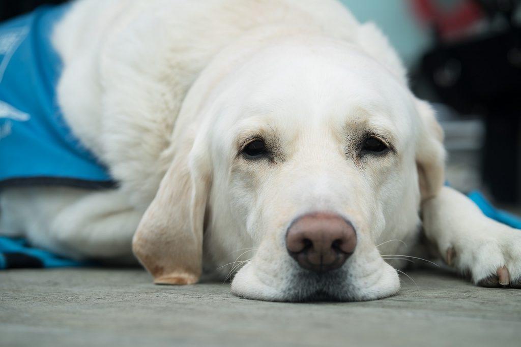 Cachorro branco e grande deitado no chão.