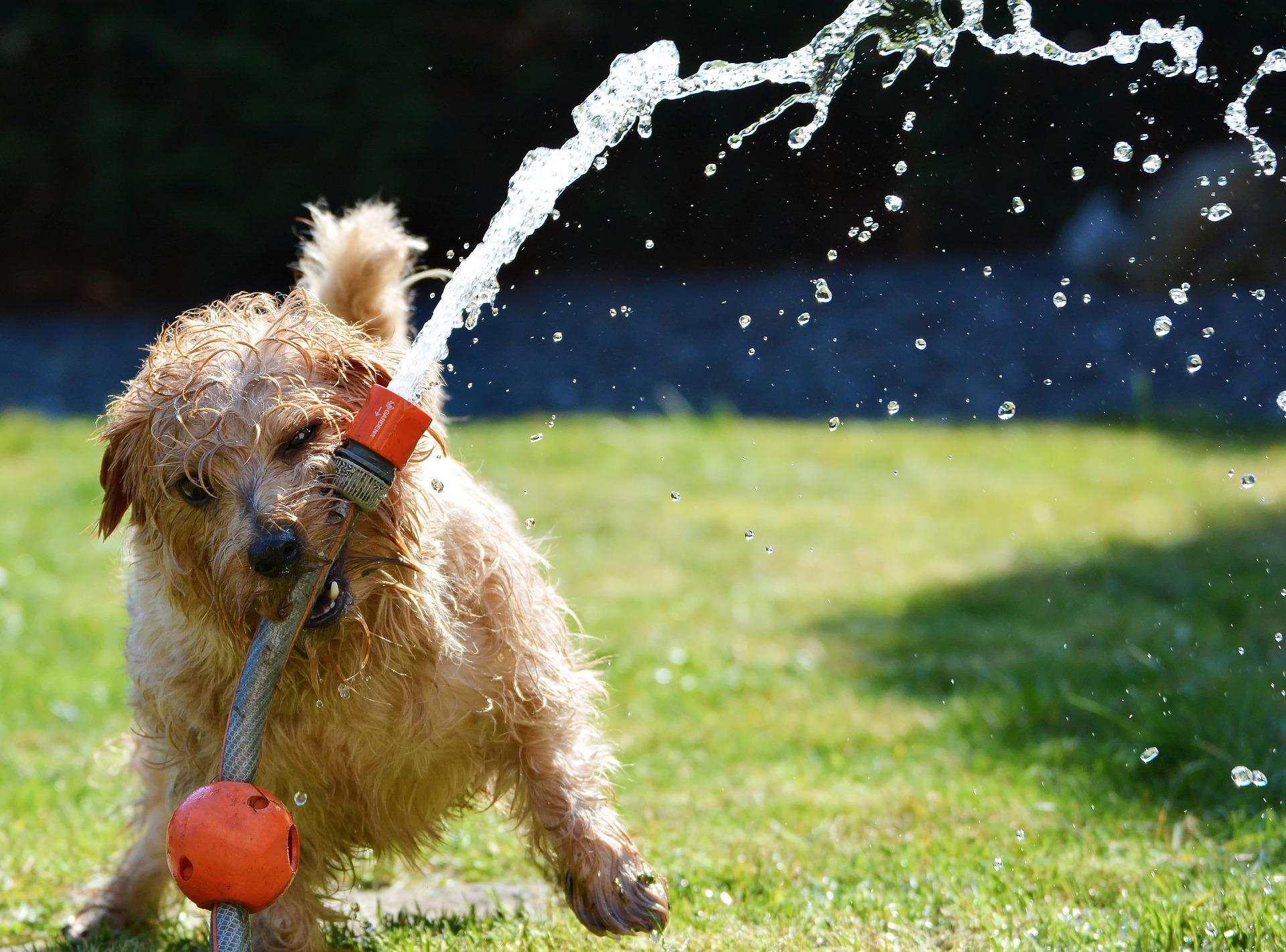 Um cachorro mordendo uma mangueira de jardim