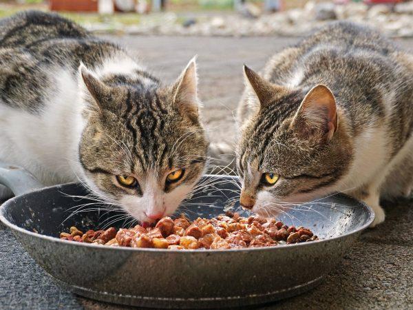 Imagem de dois gatos se alimentando em um comedouro metálico