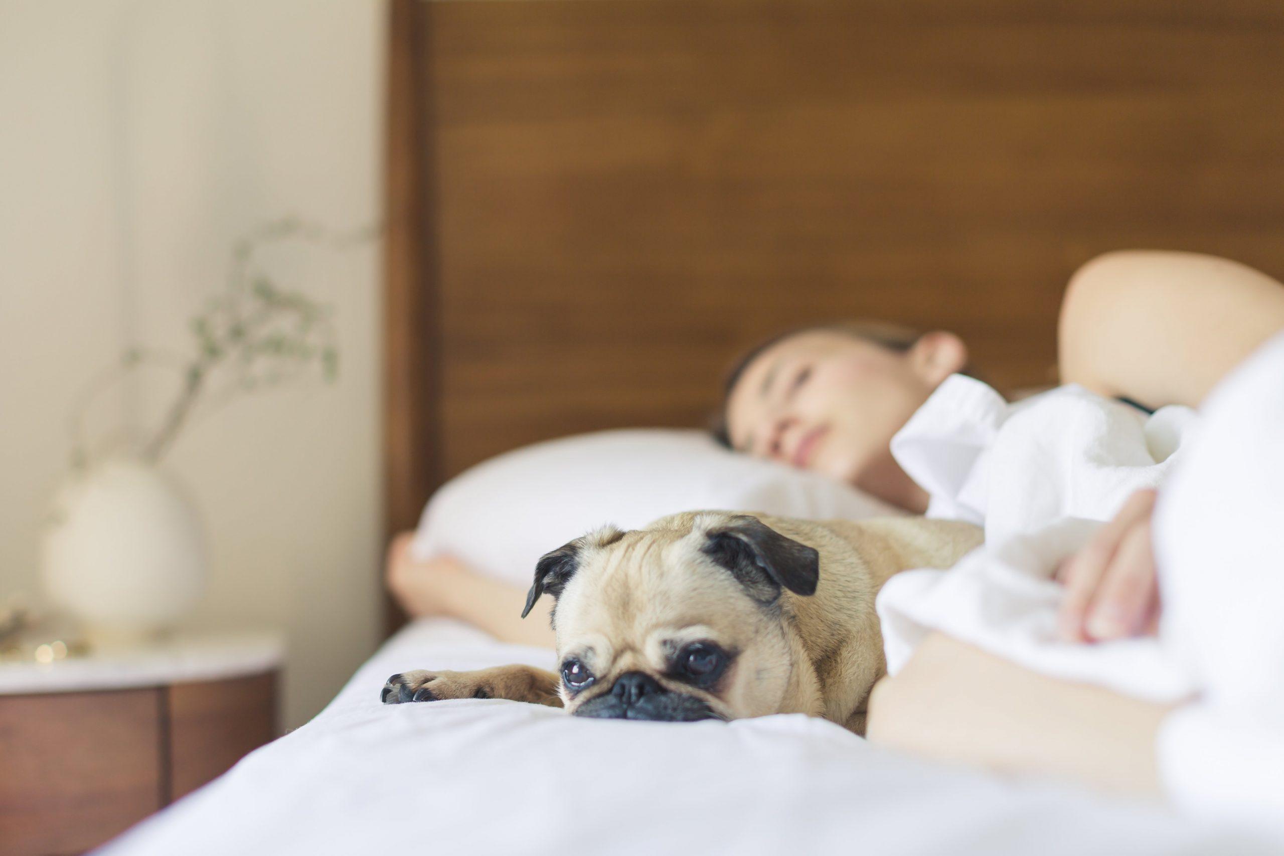 Na foto uma mulher dormindo em uma cama ao lado de um cachorro da raça Pug.