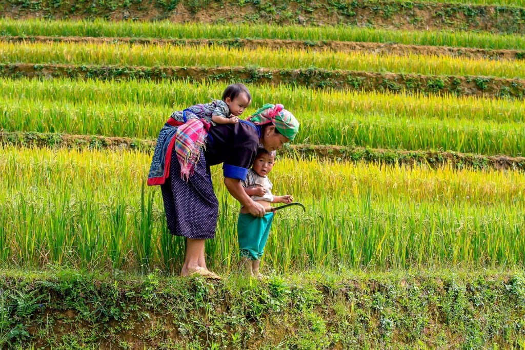 Imagem mostra uma família usando uma foice na colheita de arroz.