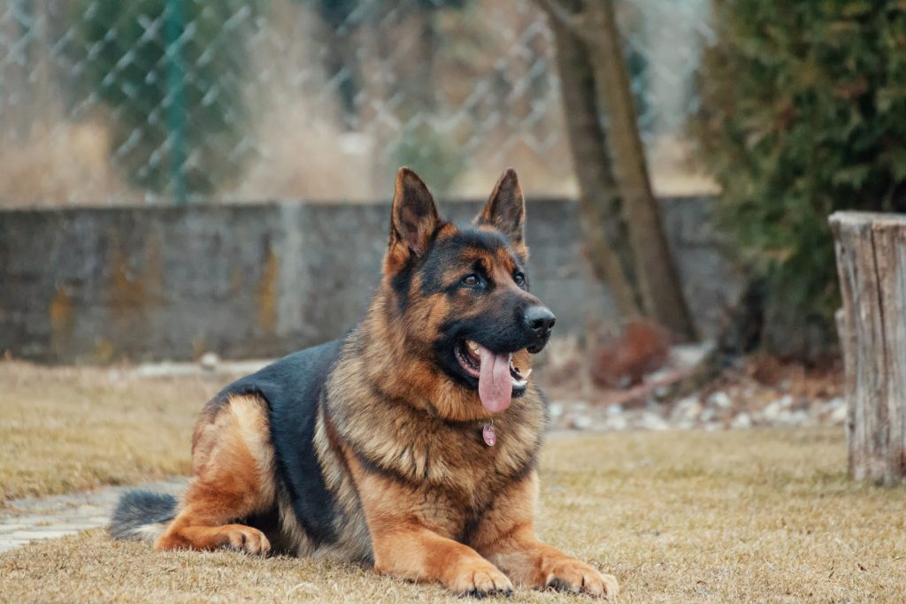 Image of a German Shepherd dog