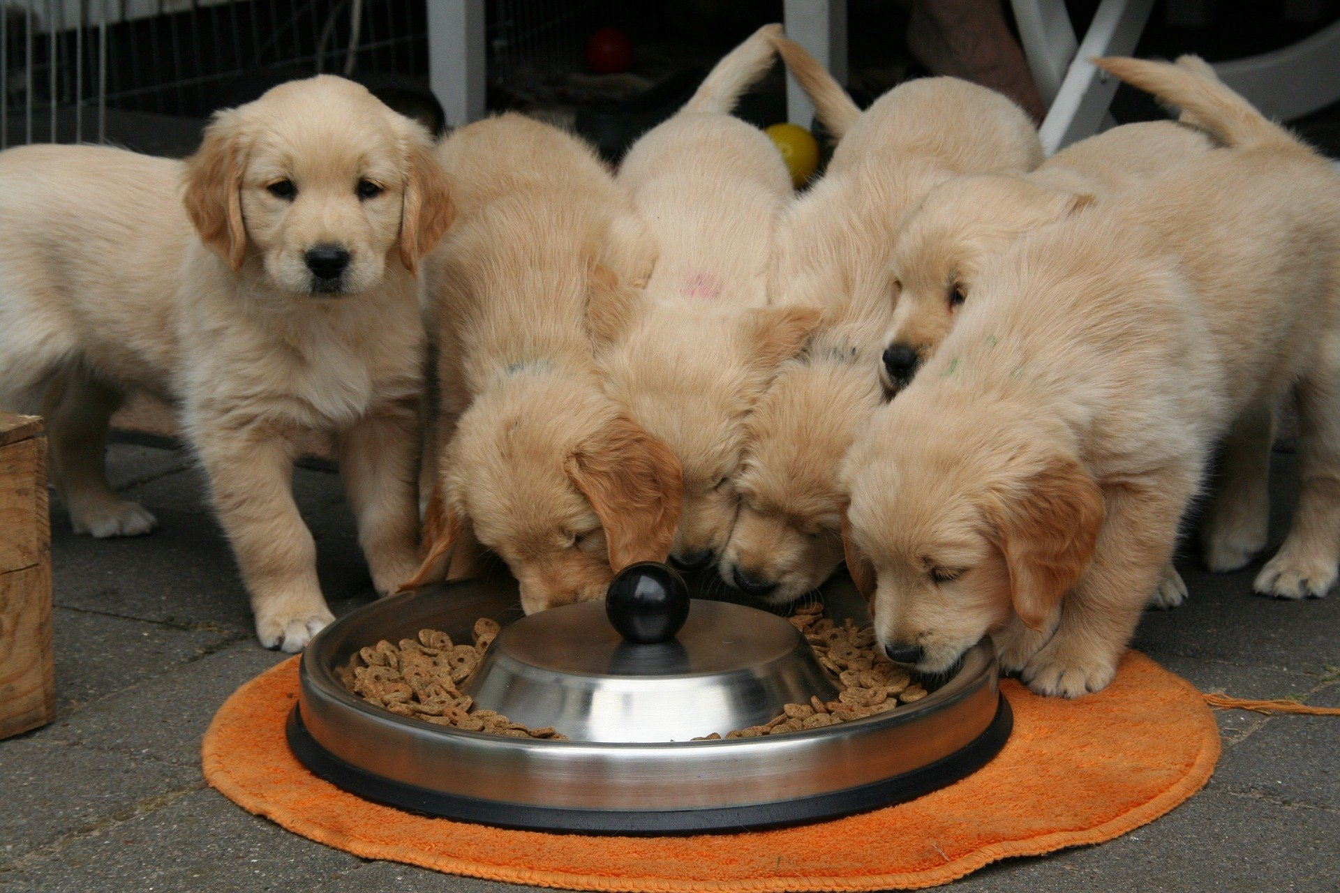 In the photo several Golden Retriever puppies eating feed.